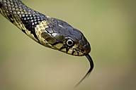 Portrait of a grass snake, Natrix Natrix, close-up - MJOF000825