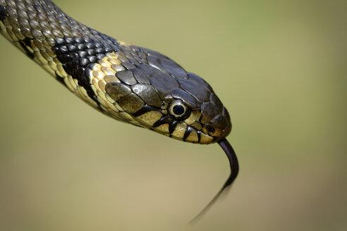 Portrait of a grass snake, Natrix Natrix, close-up - MJOF000825