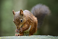 Eurasian red squirrel, Sciurus vulgaris - MJOF000828