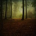 Beech forest in fog - DWIF000263
