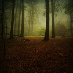 Beech forest in fog - DWIF000263