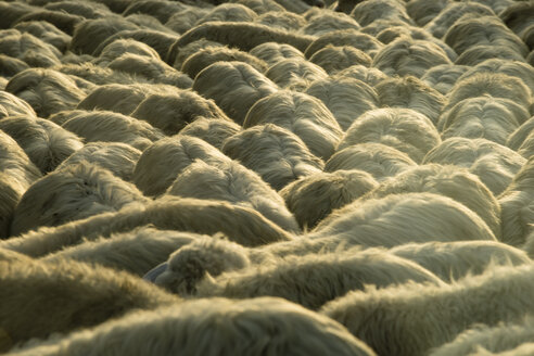 Italy, Tuscany, flock of sheep on a road - MYF000588