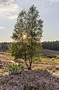 Germany, Lower Saxony, Gifhorn, Gifhorn Heath, Birch tree against the sun - PVCF000126