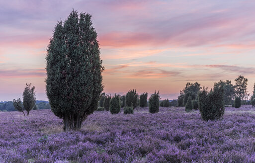Germany, Lower Saxony, Heath district, Lueneburg Heath after sunset - PVCF000130