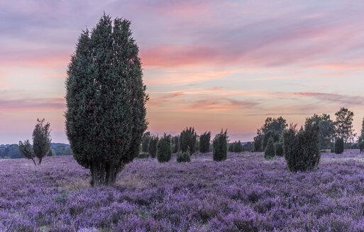 Germany, Lower Saxony, Heath district, Lueneburg Heath after sunset - PVCF000130