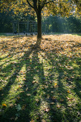 Single tree with autumn leaves on a meadow - SARF000906