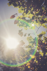 View to shining sun and autumn leaves from below - SARF000905