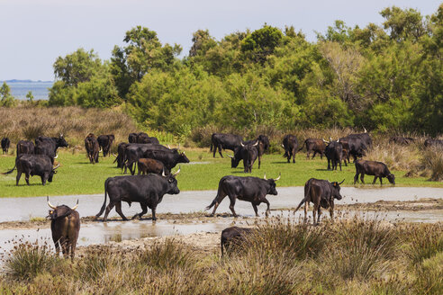 France, Provence, Camargue, herd of bulls at nature reserve - WDF002680