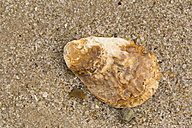 Pacific oyster, Crassostrea gigas, lying on sandy beach, close-up - SRF000799