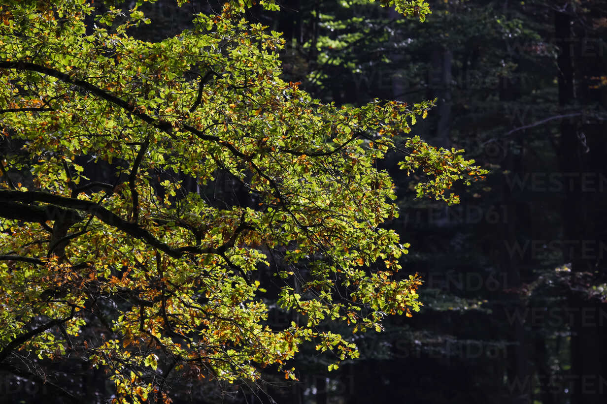 Germany, Beginning of autumn in forest - JTF000583 - Thomas Jäger/Westend61