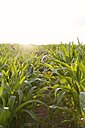 Four children hining in a maize field - FKIF000066