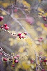 Dogrose, Rosa canina, in autumn - CZF000178