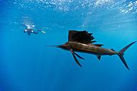 Mexico, Yucatan, Isla Mujeres, Caribbean Sea, Indo-Pacific sailfish, Istiophorus platypterus, and diver - GNF001301