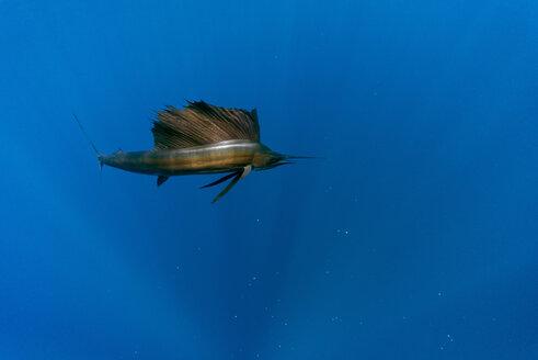 Mexico, Yucatan, Isla Mujeres, Caribbean Sea, Indo-Pacific sailfish, Istiophorus albicans - GNF001297