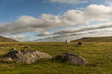 United Kingdom, England, Cornwall, Bodmin Moor, sheep - PAF001030