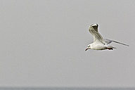 Flying seagull in front of clear grey sky - MELF000036