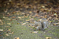 Grey squirrel, Sciurus carolinensis, in autumn - MJOF000847
