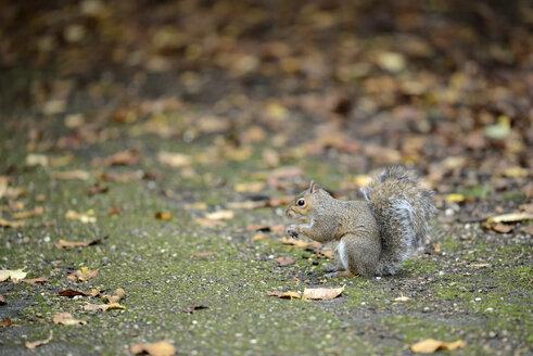 Grey squirrel, Sciurus carolinensis, in autumn - MJOF000847