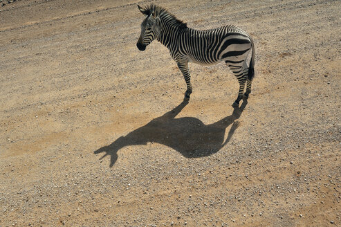 Namibia, Solitaire, plains zebra standing on lane in the sunlight - MBF001216