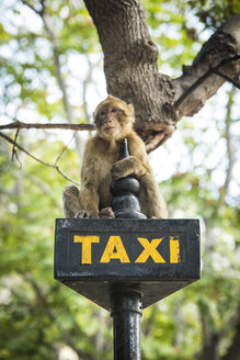 Gibraltar, Barbary macaque sitting on taxi sign - KBF000211