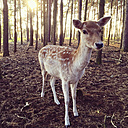 Deer in a forest - AFF000136