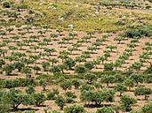 Italy, Sicily, olive tree plantation near Purgatorio - AMF003069