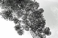 Spain, Balearic Islands, Mallorca, Arta, Pine tree, Pinus pinea - HLF000756