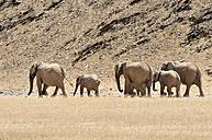Africa, Kunene, six African elephants,  Loxodonta africana, walking through Hoanib River - ESF001433