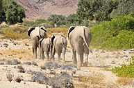 Africa, Kunene, four African elephants,  Loxodonta africana, walking through Hoanib River - ESF001430