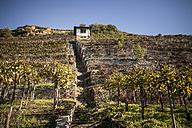 Germany, Baden-Wuerttemberg, Vaihingen, vineyard in autumn - SBDF001398