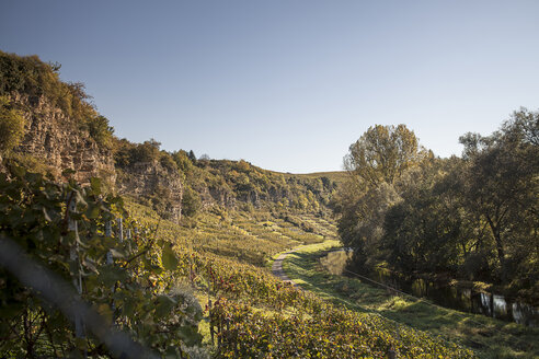Germany, Baden-Wuerttemberg, Muehlhausen, vineyard in autumn - SBDF001404