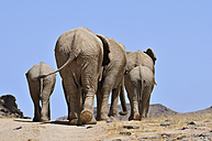 Africa, Namibia, Kaokoland, group of African elephants, Loxodonta africana, back view - ESF001446