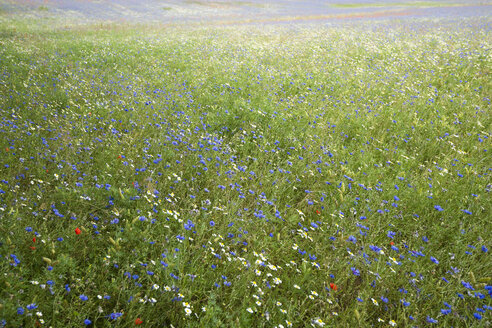 Germany, Mecklenburg-Western Pomerania, Summer meadow with cornflowers - MYF000663