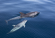 Spain, Andalusia, Bottlenose Dolphins, Tursiops truncatus - KBF000227