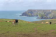 United Kingdom, England, Cornwall, Lizard, Herd of cows at Lizard Point - FRF000071