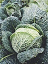 Germany, North Rhine-Westphalia, Petershagen, Savoy cabbage in a vegetable garden. - HAWF000494