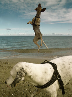 Germany, Baltic Sea, dogs at beach - ON000642