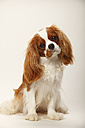 Portrait of Cavalier King Charles Spaniel sitting in front of white background - HTF000515