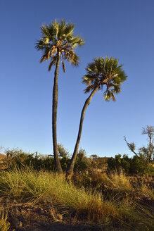 Namibia, Kunene, Damaraland, Borassus aethiopum at Uniab River valley - ESF001455