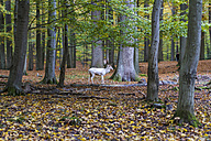 Germany, Schleswig-Holstein, Kiel, white stag in a game preserve - JFEF000522