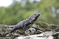 Mexico, Cozumel, iguana - SHKF000021