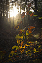 Germany, Bavaria, Landshut, branch in autumnal forest - YFF000266