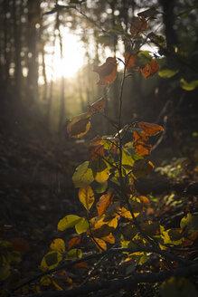Germany, Bavaria, Landshut, branch in autumnal forest - YFF000266