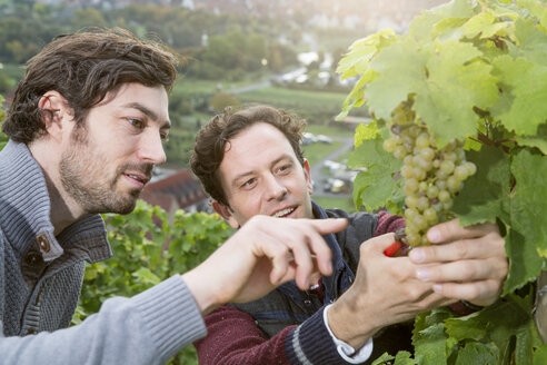 Germany, Bavaria, Volkach, two winegrowers testing grapes - FKF000760