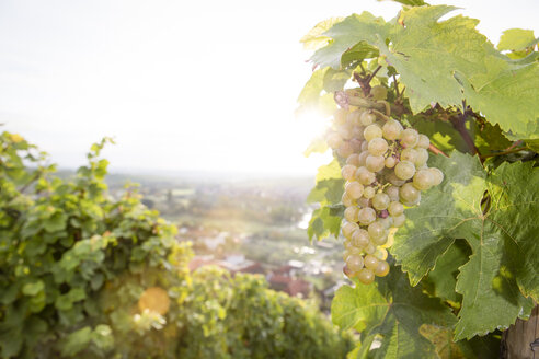 Germany, Bavaria, Volkach, green grapes in vineyard - FKF000763
