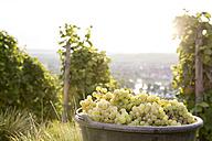 Germany, Bavaria, Volkach, harvested grapes in bucket - FKF000766