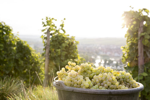 Germany, Bavaria, Volkach, harvested grapes in bucket - FKF000766