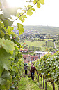 Germany, Bavaria, Volkach, two men harvesting grapes in vineyard - FKF000780