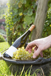 Germany, Bavaria, Volkach, hand in bucket with harvested grapes and wine bottle - FKF000786