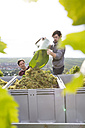 Germany, Bavaria, Volkach, grape harvest - FKF000792